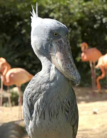 shoebill crane